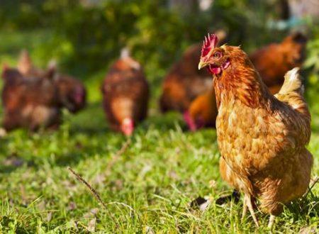Carrefour lancia in Spagna il primo pollo allevato senza trattamenti antibiotici