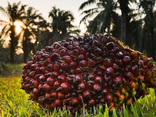 Coop in Svizzera lancia l'offensiva dell'olio di palma